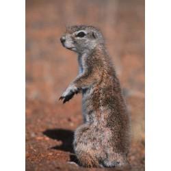 Carte 15 x 10,5 cm Marmotte
